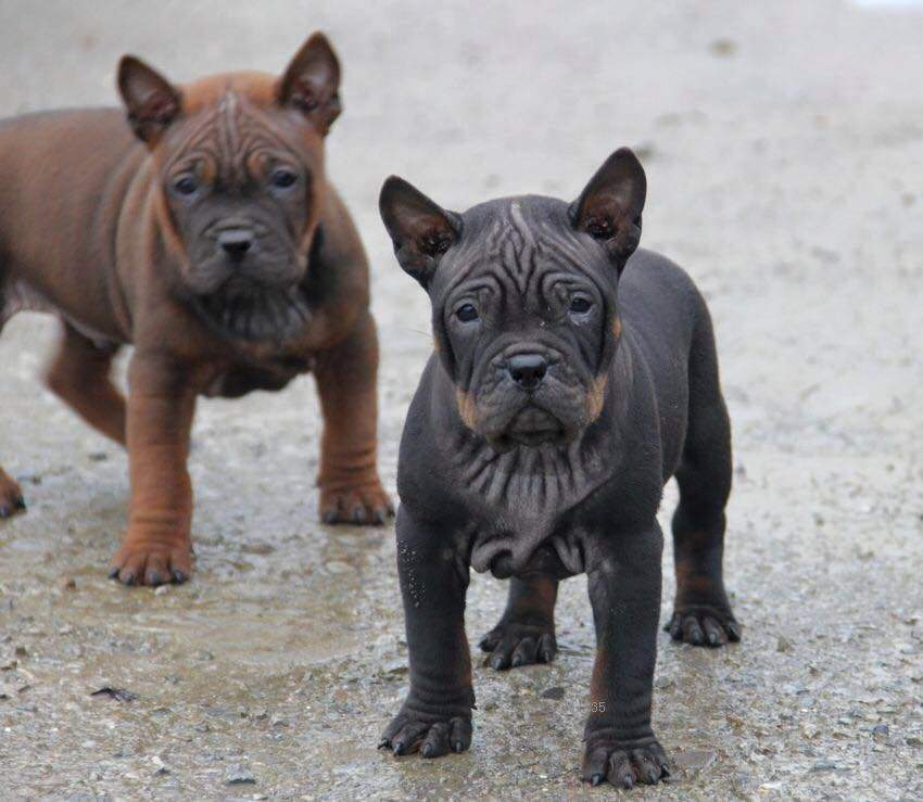 Собаки китайских пород: декоративная, китайских императоров, с черно-синим языком