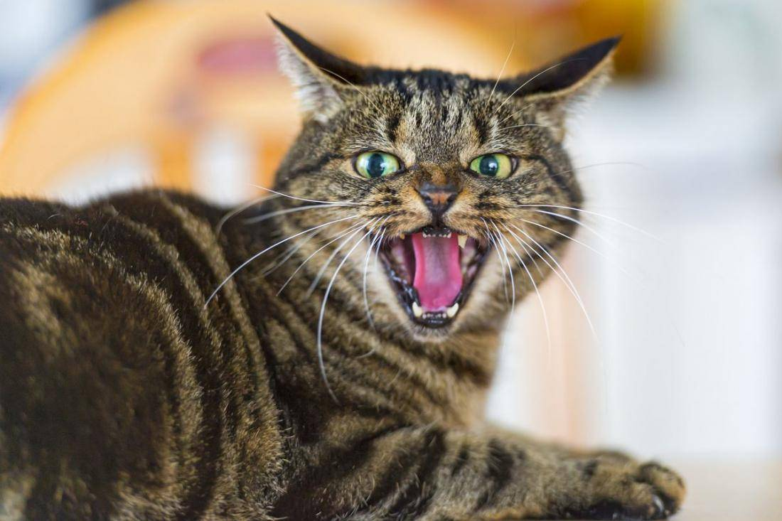 10 звуков кошек — и что они означают? | скоттиш фолд вислоухое мяу