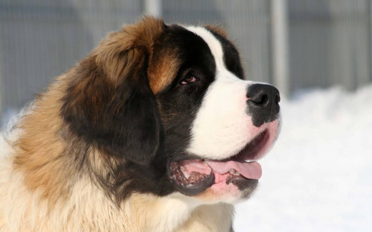 Сенбернар собака: фото, внешний вид, дрессировка, уход