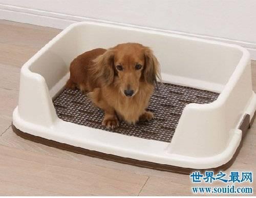 Как приучить щенка ходить в туалет на улицу после пеленки?
