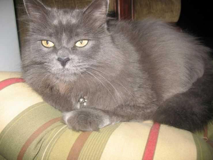 Нибелунг (порода кошек) — википедия