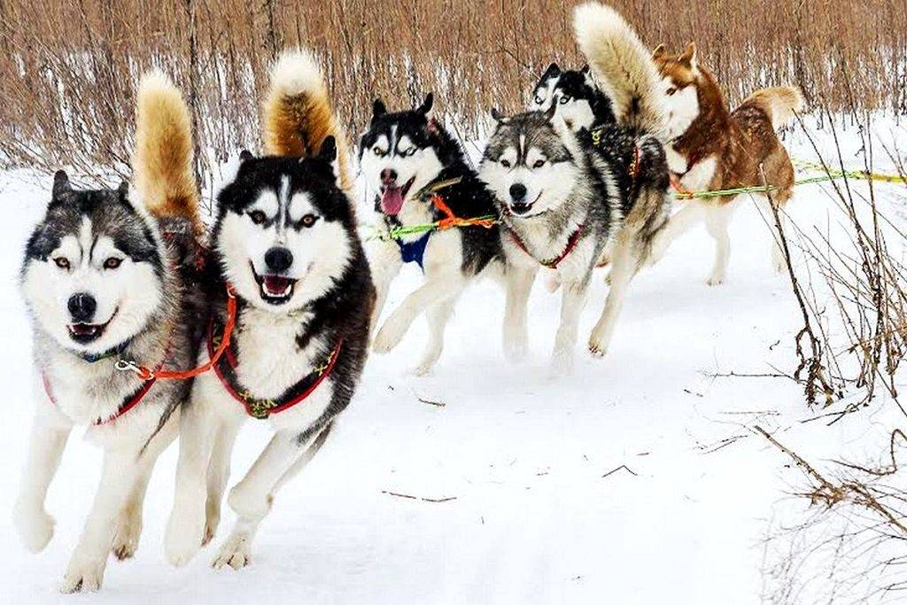 Какую низкую температуру выдерживают собаки