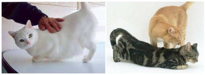 Спаривание кошек и котов: основные особенности