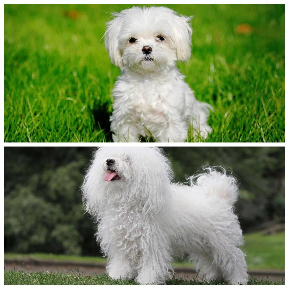 Болоньез — описание, фото и характеристика породы   все о собаках