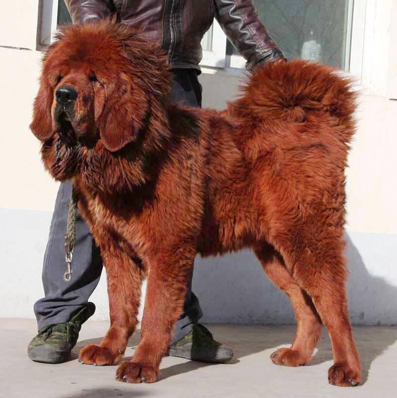 Тибетский мастиф фото с человеком, купить щенка тибетского мастифа цена в россии в рублях, характеристика породы, отзывы владельцев