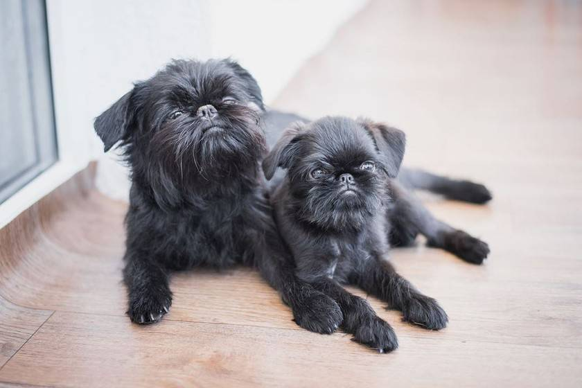 ᐉ гриффон собака описание породы - zoomanji.ru