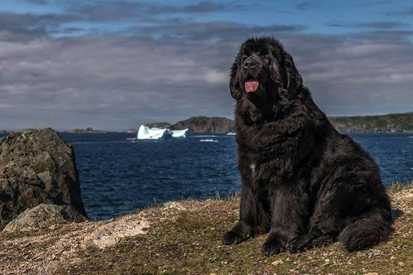 Ньюфаундленд: описание собаки «водолаза»