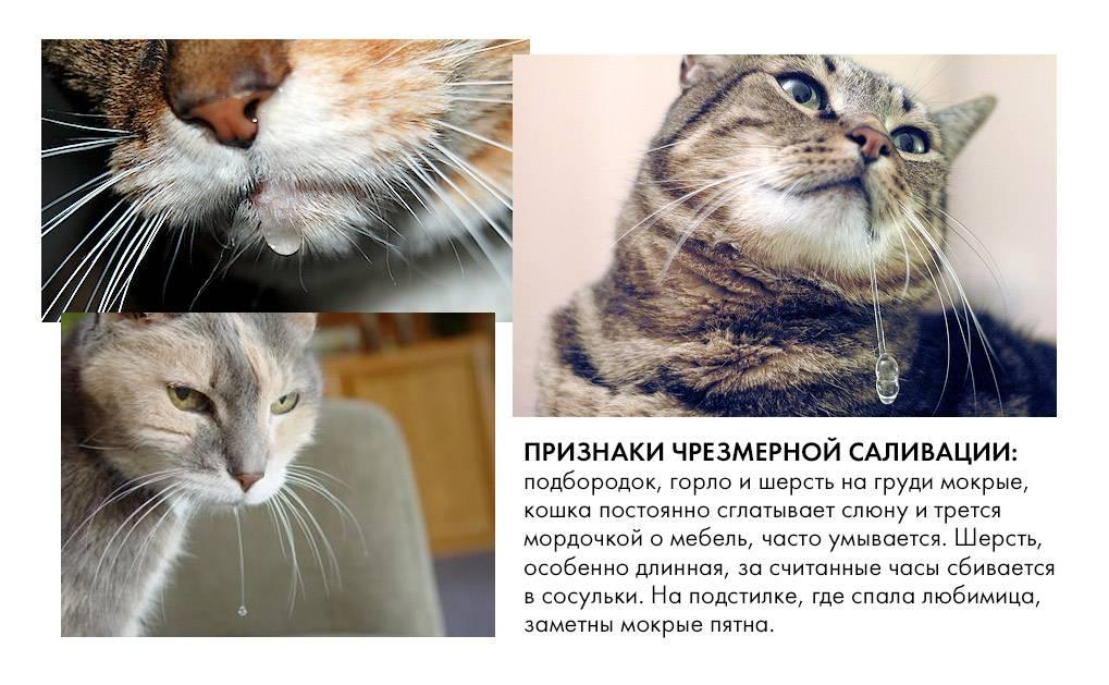 Кошка постоянно облизывается: причины
