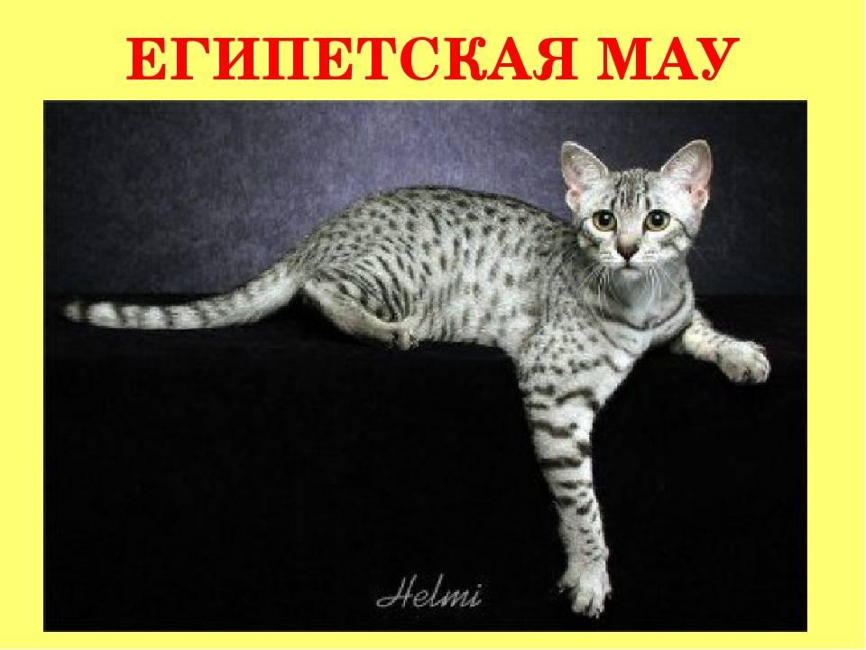 Аравийский мау – аборигенный кот из пустыни, который справится с нашествием мышей в вашем доме