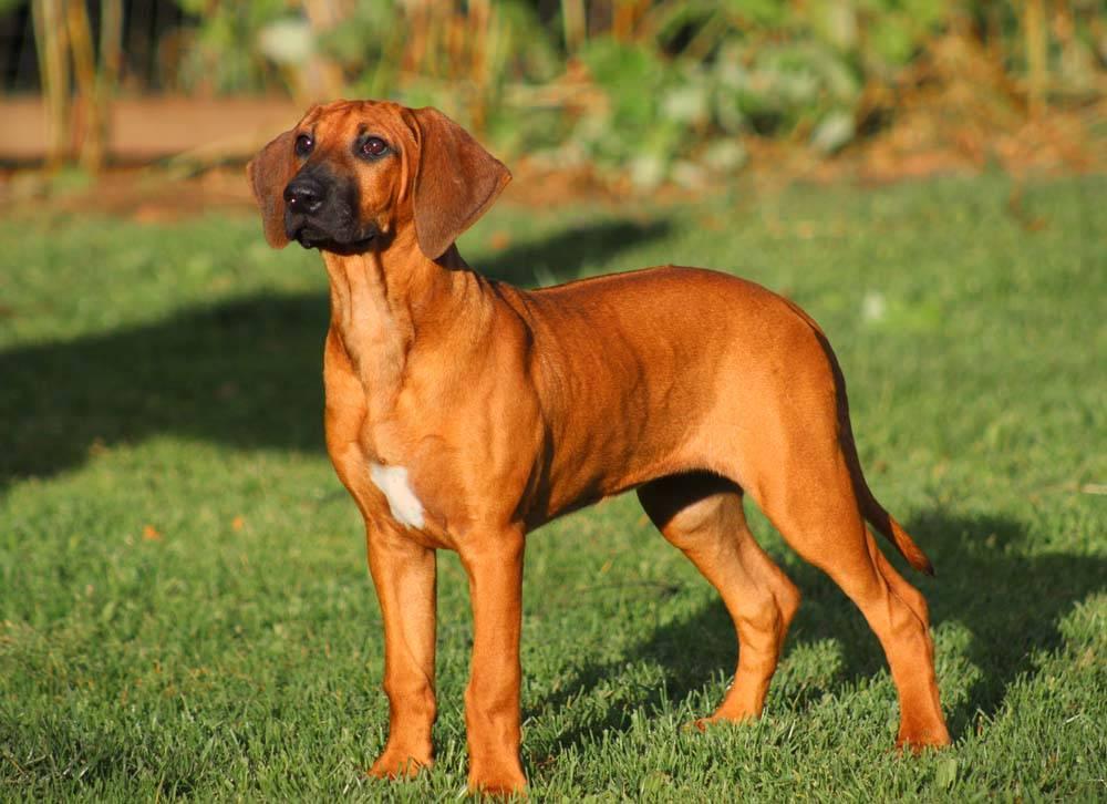 Родезийский риджбек: фото собак и их щенков, характеристика стандарта породы, риджбек на охоте
