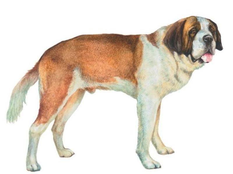 Собака породы сенбернар (140 фото + видео) - подробное описание породы + отзывы владельца