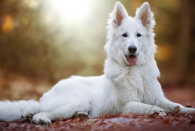 Белая швейцарская овчарка: фото, купить, видео, цена, содержание дома
