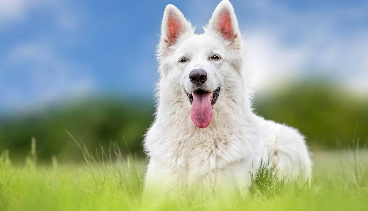 Топ 10 пород собак подходящих для квартиры — маленькие, средние и крупные
