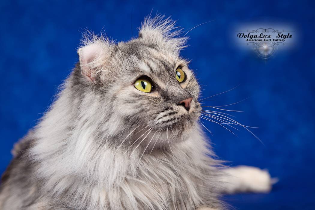 Керл. о породе кошек: описание породы керл, цены, фото, уход