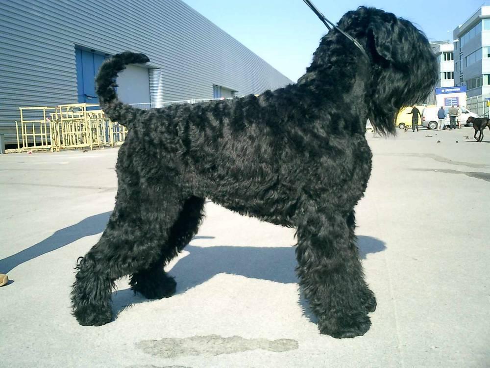 Русские породы собак с фотографиями и названиями, выведенные в россии в разное время