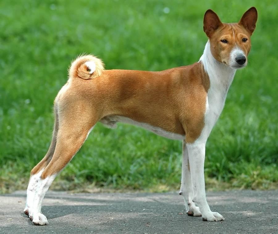 Породы собак, которые не лают