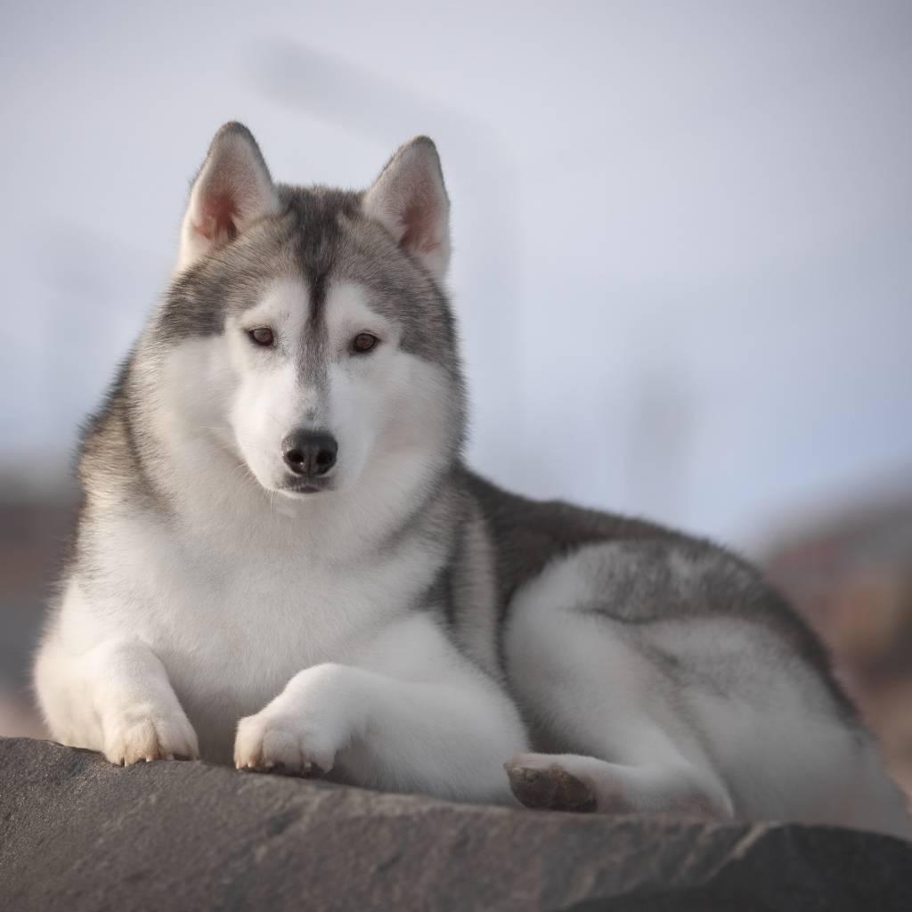 Какие породы собак похожи на хаски?