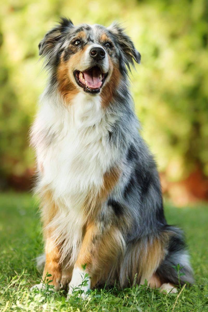 Лучшие пастушьи собаки с описанием, названиями и фото пород