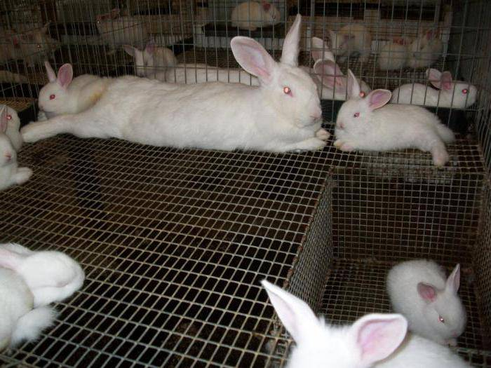 Через сколько рожают крольчихи: сроки длительности беременности и вынашивания