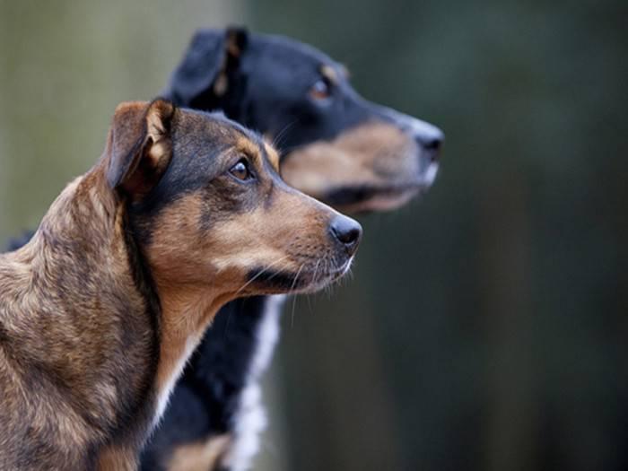 Цвергпинчер собака. описание, особенности, виды, уход и цена породы цвергпинчер | живность.ру