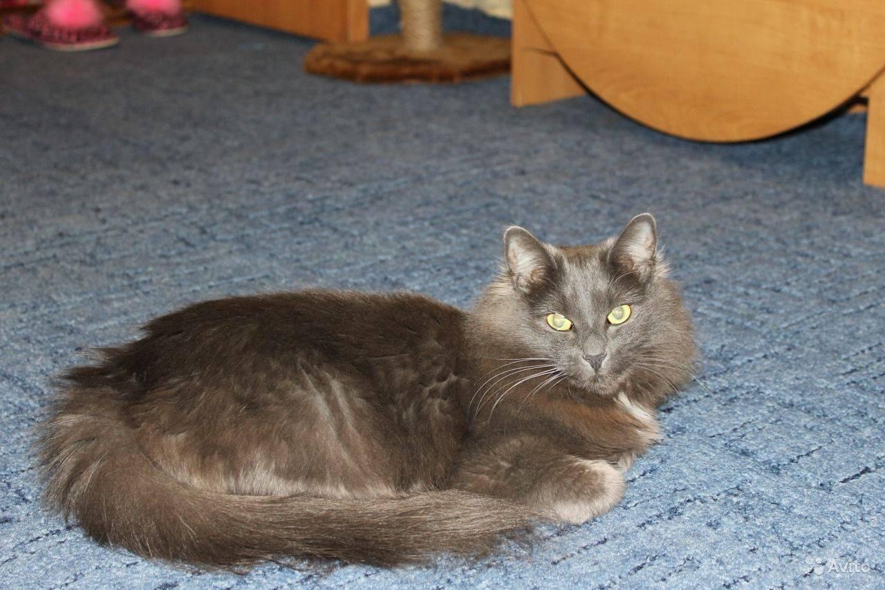 Кошки породы нибелунг (63 фото): описание котов, особенности характера котят. содержание голубых кошек