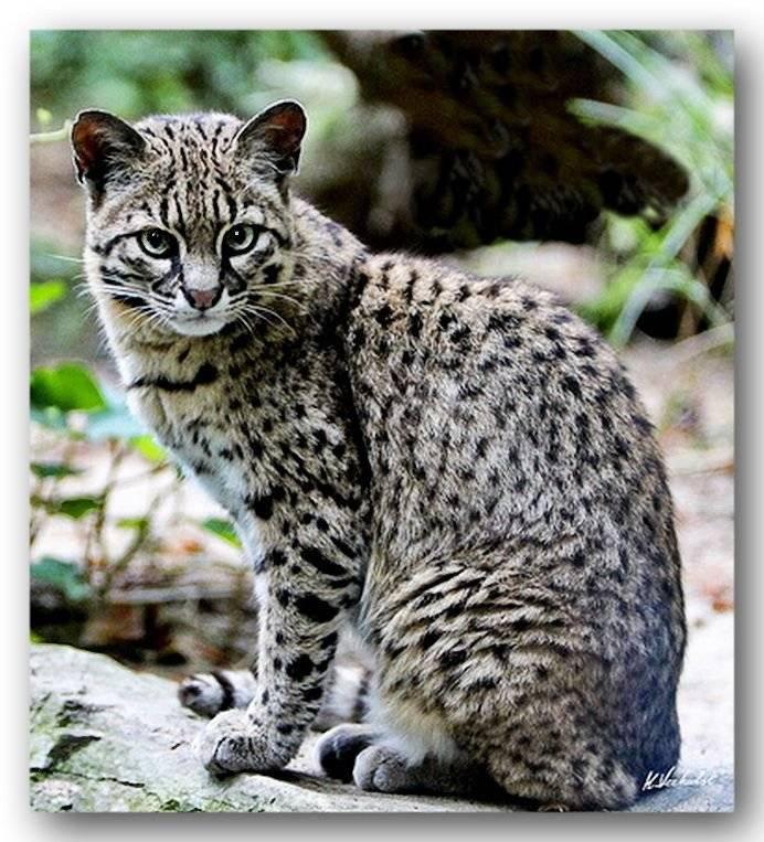 Леопард, да и только: бенгальская кошка, как она есть