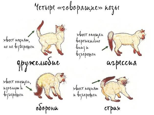 Котохвост: о чем может рассказать хвост кошки?