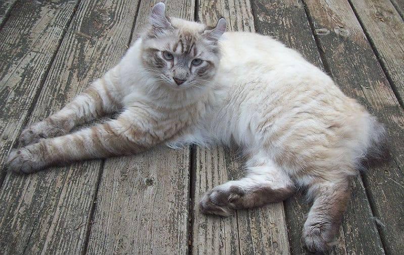 Калифорнийская сияющая кошка: фото и описание породы