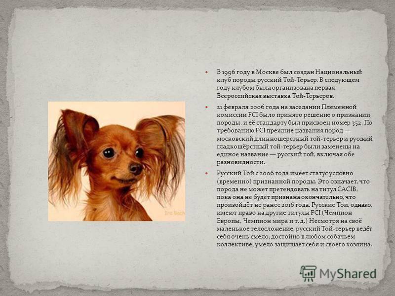 Русский той-терьер собака. описание, особенности, уход и цена русского той-терьера | животный мир