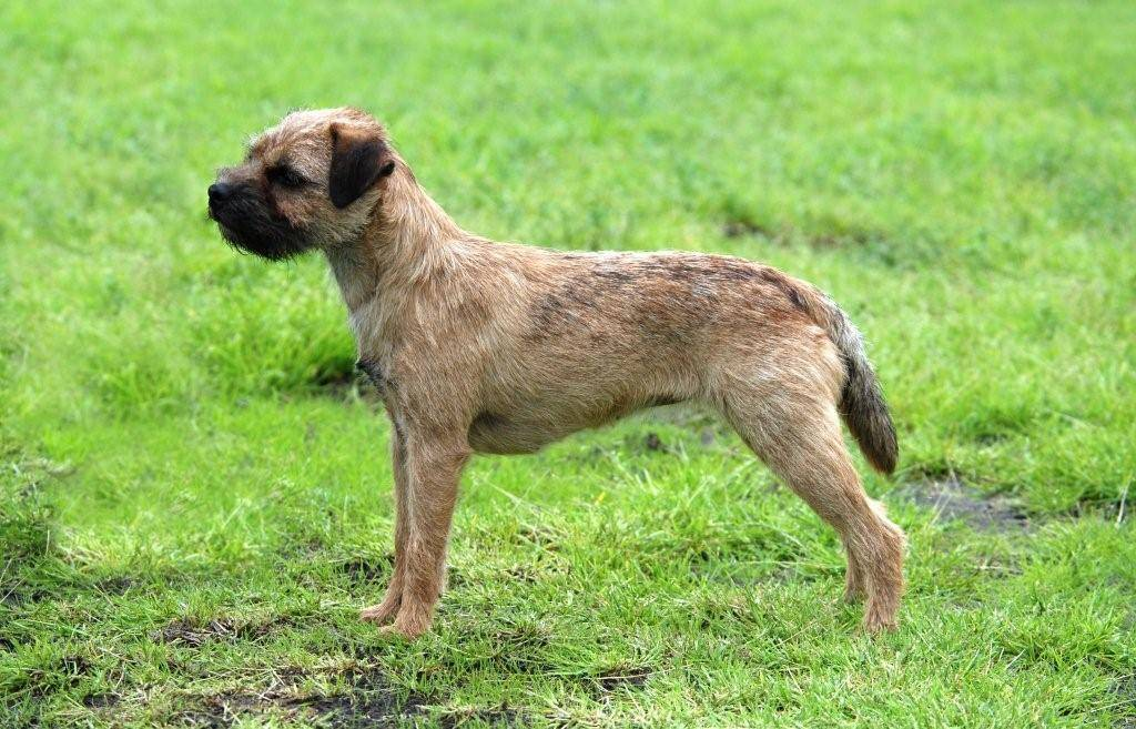 Описание породы собак бордер-терьер: характер, уход, предназначение