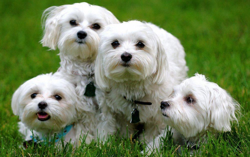Порода собак мальтезе: описание, характер и фото болонки