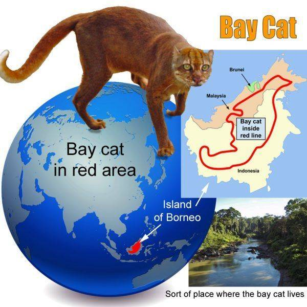 Тайская кошка: описание породы, характер и повадки, правильный уход, фото, выбор котенка