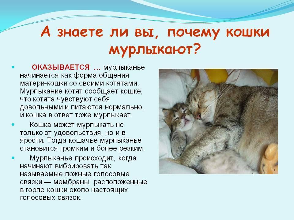 Почему и как мурлыкают кошки: феномен кошачьего урчания