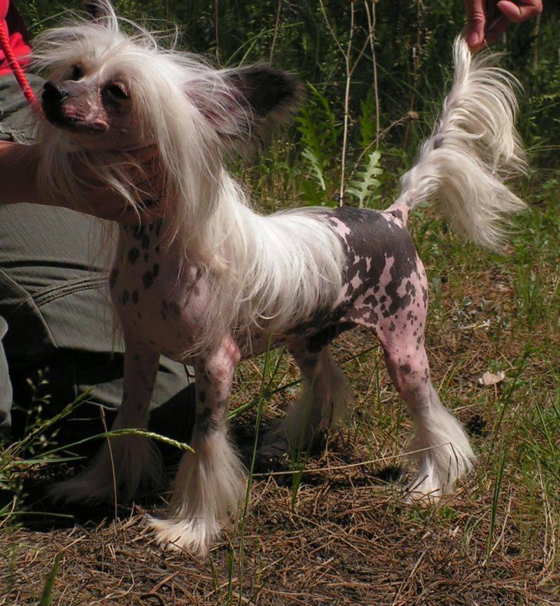 Китайская хохлатая собака пуховая: описание, характер, содержание, фото китайская хохлатая собака пуховая: описание, характер, содержание, фото