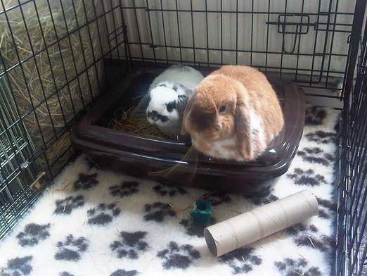 Приучение кролика к лотку