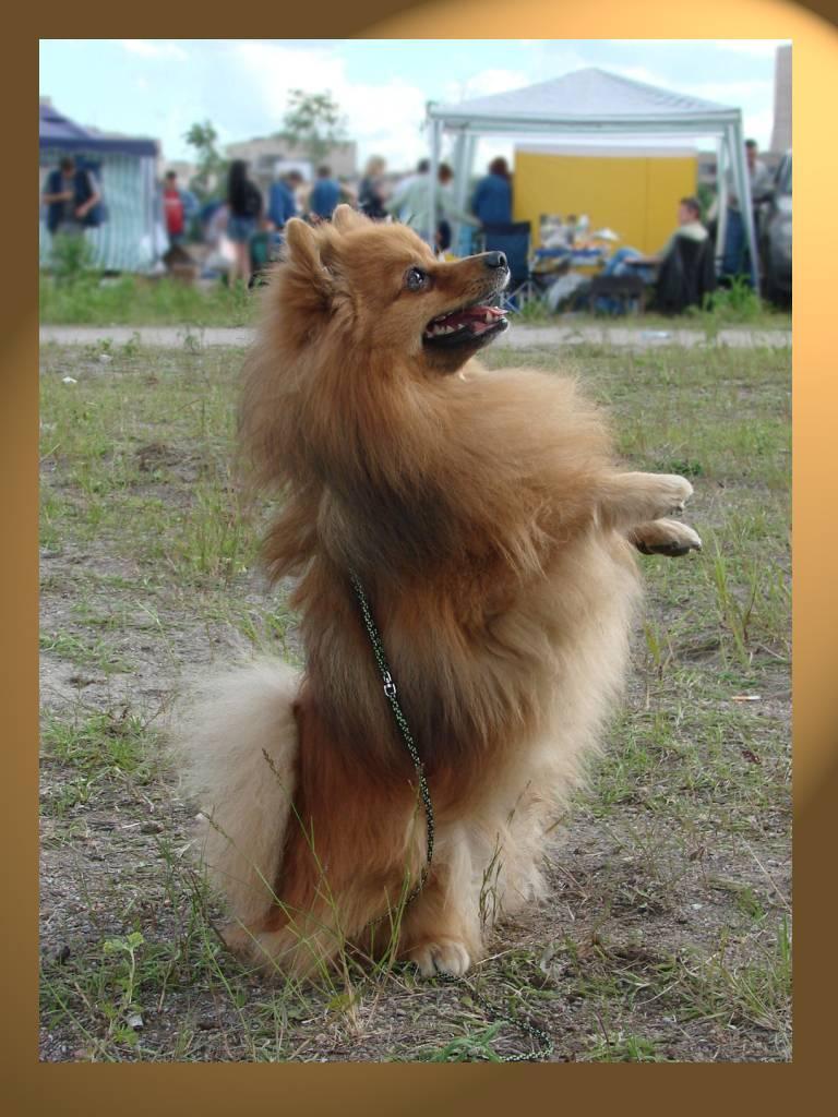 Немецкий шпиц — характер собаки, описание породы и цена собаки. 125 фото породистых шпицев