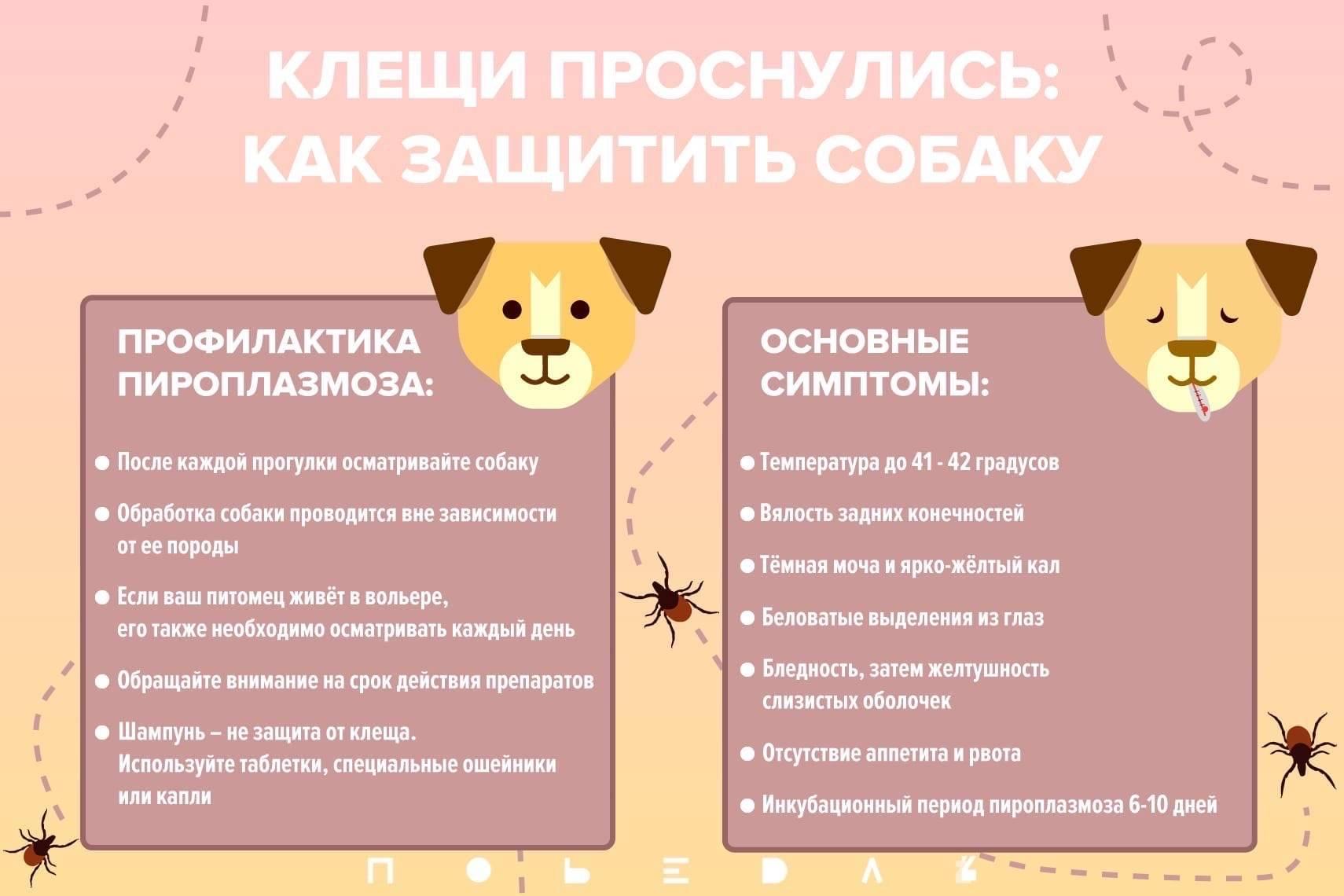 Пироплазмоз собак.