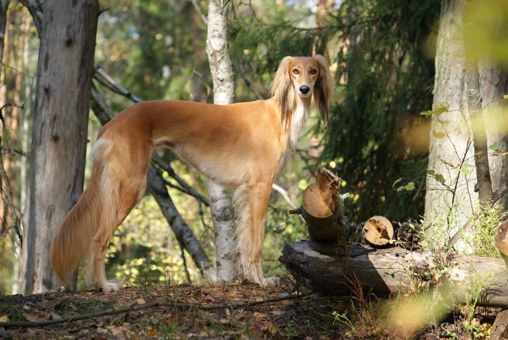 Салюки (45 фото): описание породы собак, характер щенков. как за ними ухаживать?