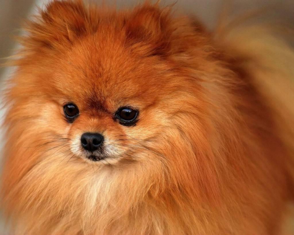 Окрасы шпицев – разновидности и особенности, уход за шерстью собаки