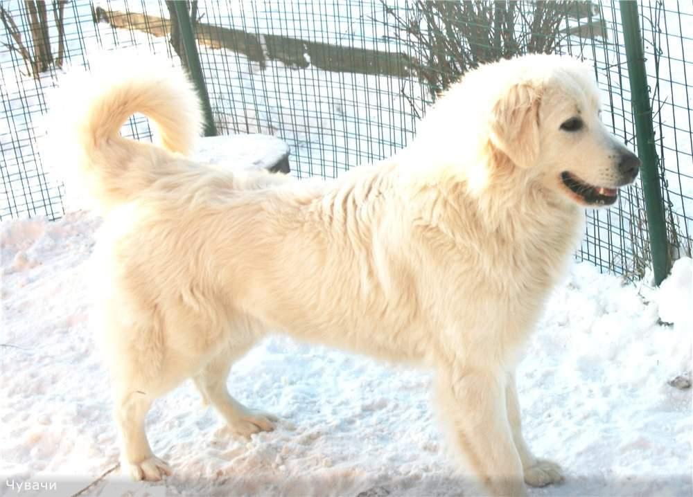 Словацкий чувач — описание породы собак