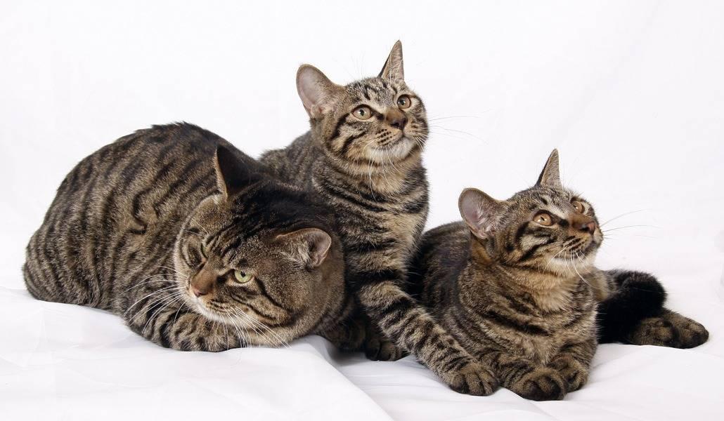 Китайская порода кошек ли хуа (дракон ли): фото, описание
