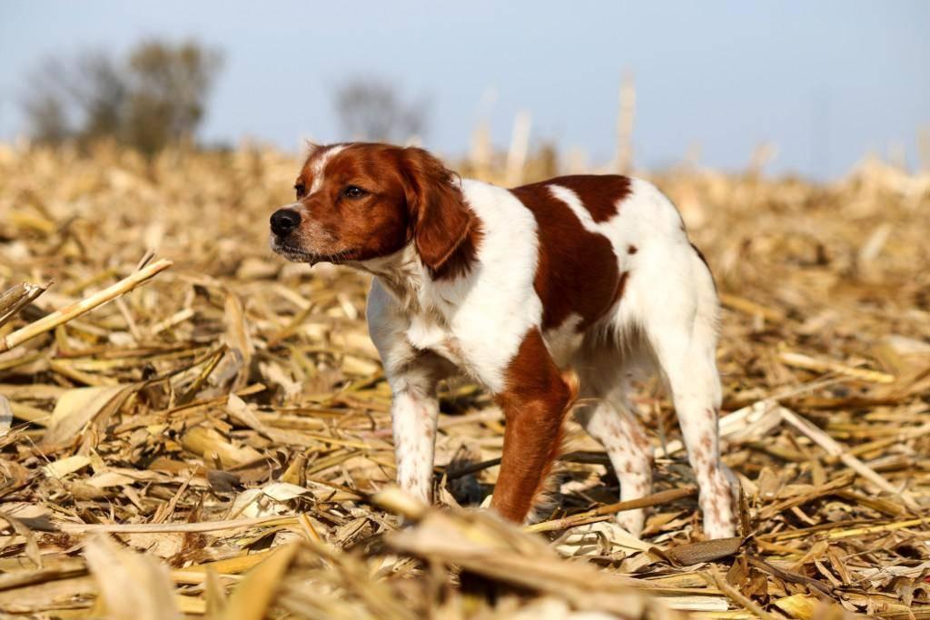 Бретонский эпаньоль - описание породы и характер собаки