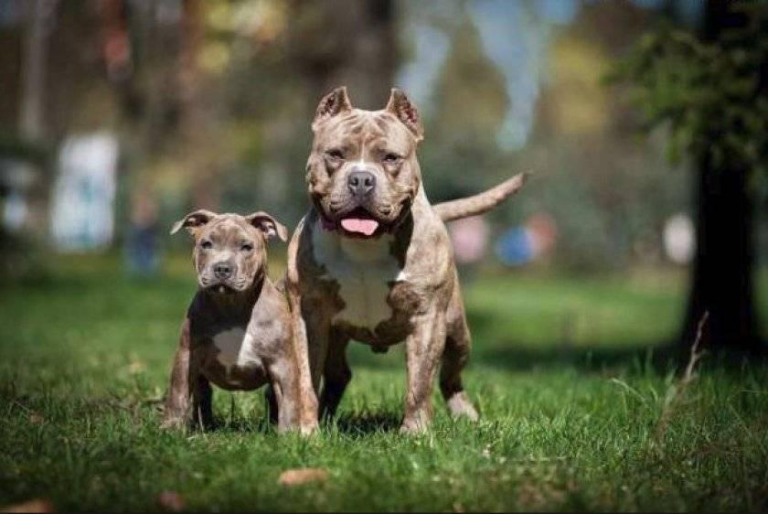 Американский булли - фото, описание породы, щенки, видео, где купить и питомники. - petstime.ru