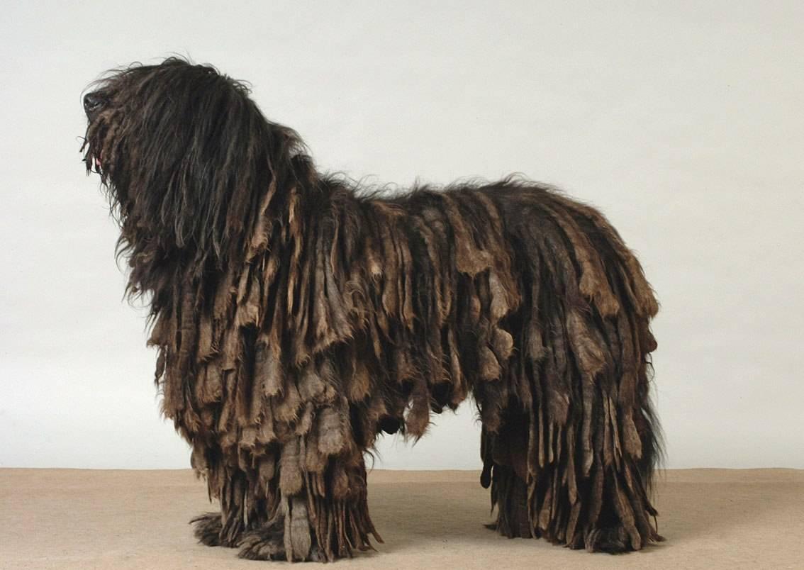 Бергамская овчарка (бергамаско): фото породы собак, описание и характеристики