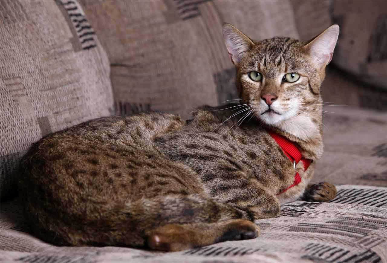 Ашера кошка: описание породы, характер, уход, рацион, болезни