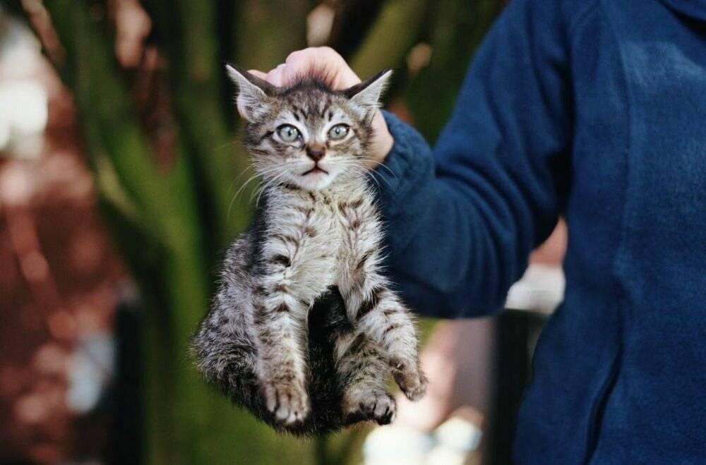 Как приручить кошку к рукам