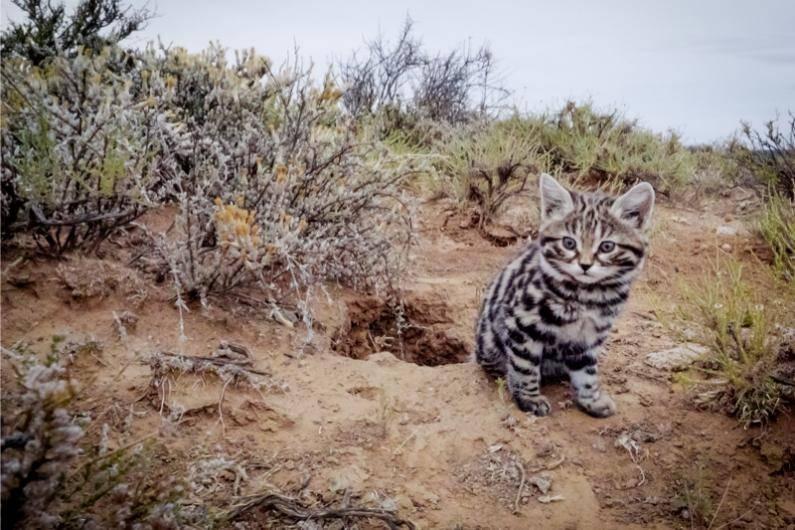 Малайский тигр: фото и видео, описание животного, характер