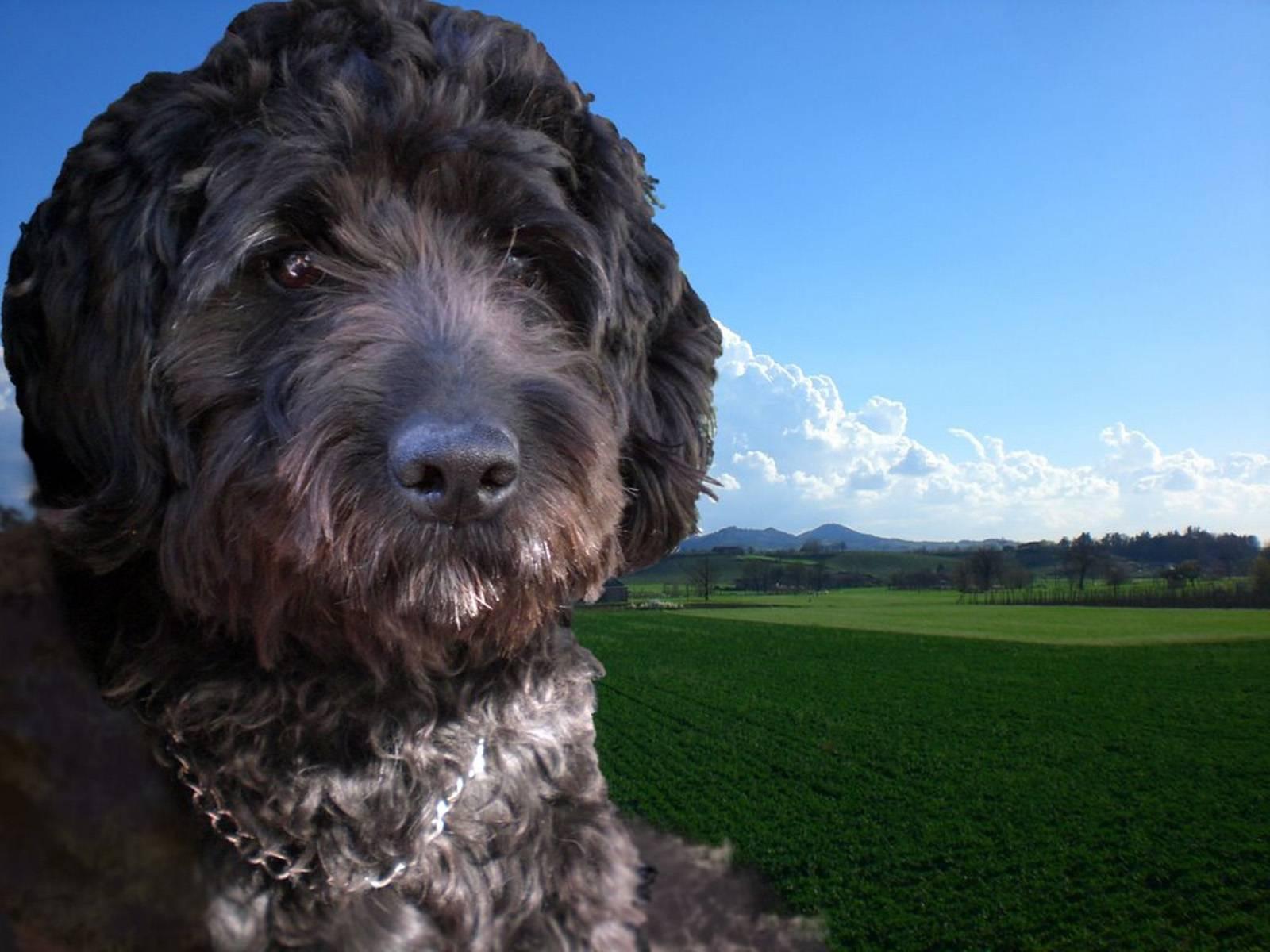 Барбет — описание породы, характеристика, уход, фото французских водяных собак и многое другое