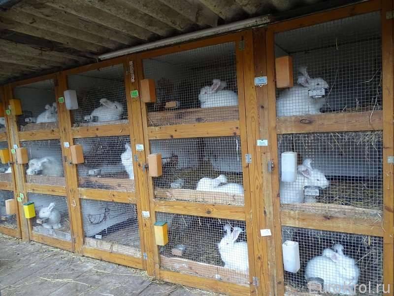 Разведение кроликов в домашних условиях: для начинающих!