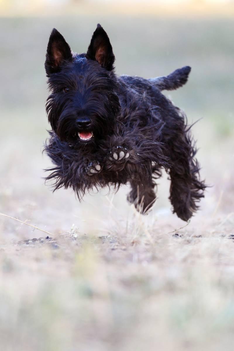 Скотч-терьер (шотландский терьер): описание породы, советы и рекомендации по выбору щенка, уход и содержание (+ фото)